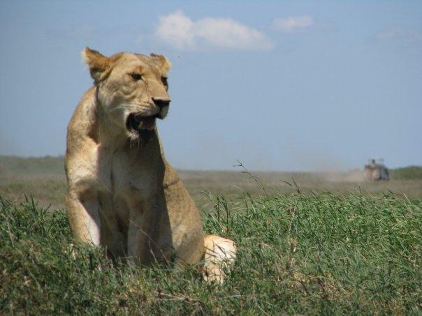 Safari pregnant lion in tanzania