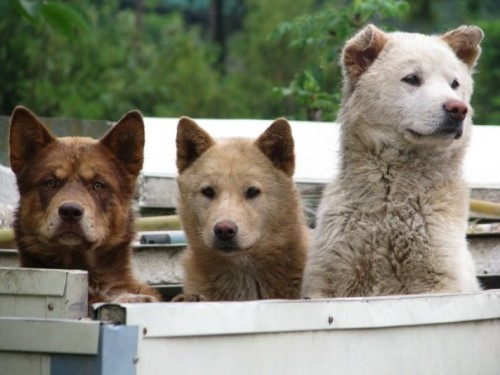 South Korean Jindo dogs