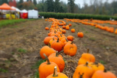 pumpkin patch in Wa