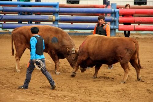 Cheongdo bullfights