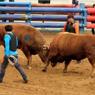 Korean Bullfights