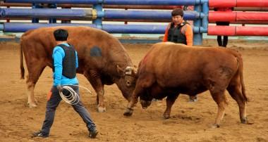 Korean Bullfights