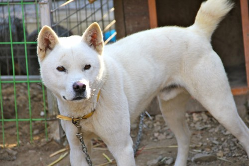 handsome Jindo dogs