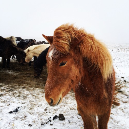 And adorable Icelandic horses (NOT ponies).