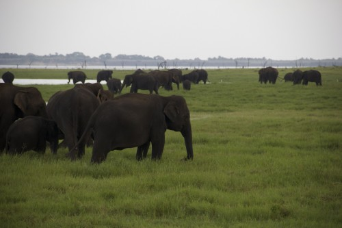 Herds of elephants at Sri Lanka's Kaudulla National Park