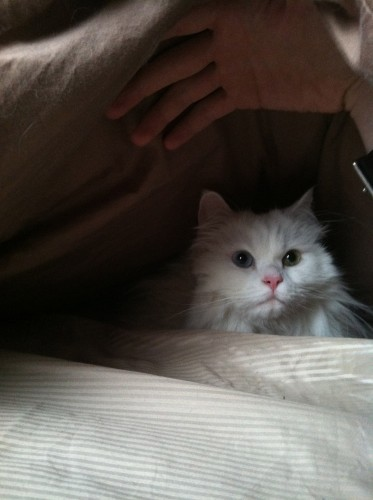 Ares the dollfaced persian