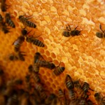 Bees working on the honeycomb
